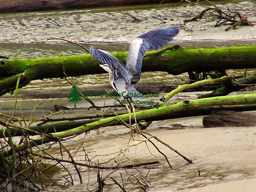 Great Blue Heron 07