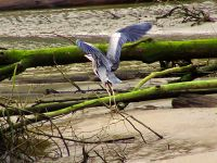 Great Blue Heron 07