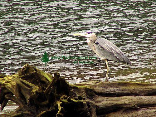 Great Blue Heron 08
