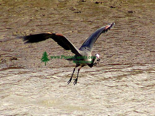 Great Blue Heron 02