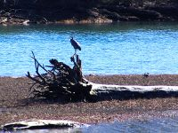 Great Blue Heron 09