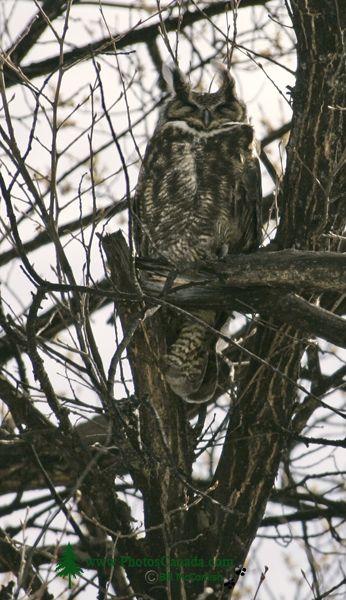 Great Horned Owl, British Columbia, Canada CM11-001