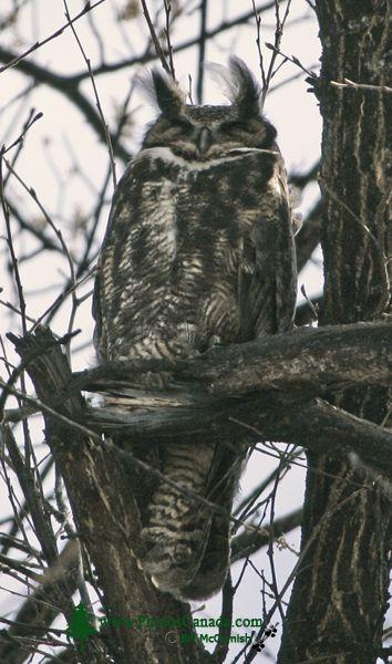Great Horned Owl, British Columbia, Canada CM11-002