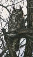 Great Horned Owl, British Columbia, Canada CM11-002