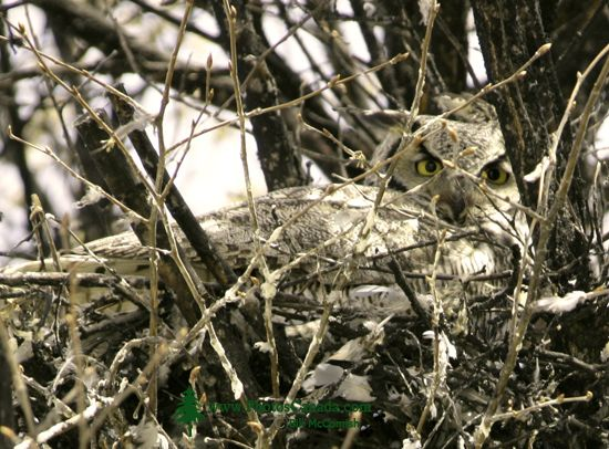 Great Horned Owl in Nest, British Columbia, Canada CM11-003