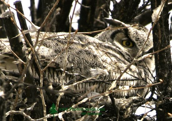 Great Horned Owl in Nest, British Columbia, Canada CM11-004