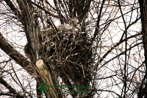 Great Horned Owl in Nest, British Columbia, Canada CM11-006