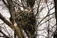 Great Horned Owl in Nest, British Columbia, Canada CM11-006