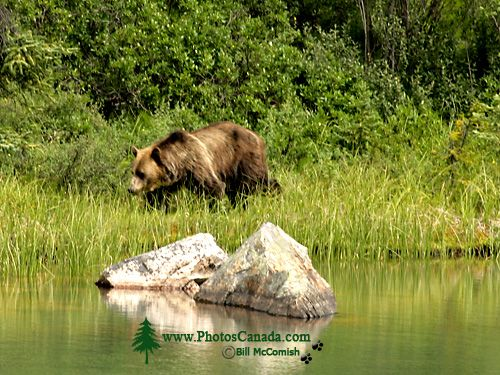 Grizzly Bear CM11-02