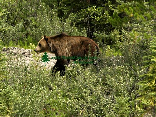 Grizzly Bear CM11-04