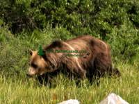 Highlight for Album: Grizzly Bear Photos, Jasper National Park, Alberta, Canadian Wildlife Stock Photos