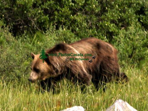 Grizzly Bear CM11-01