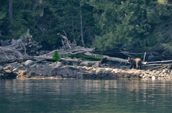 Grizzly Bear, Princess Royal Island, Inside Passage, British Columbia, Canada CM-01