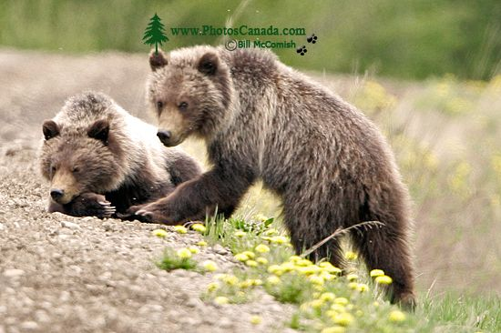 Grizzly Bear Cubs CM11-005