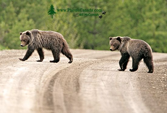 Grizzly Bear Cubs CM11-006