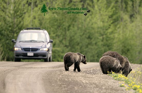 Grizzly Bear with Cubs CM11-001