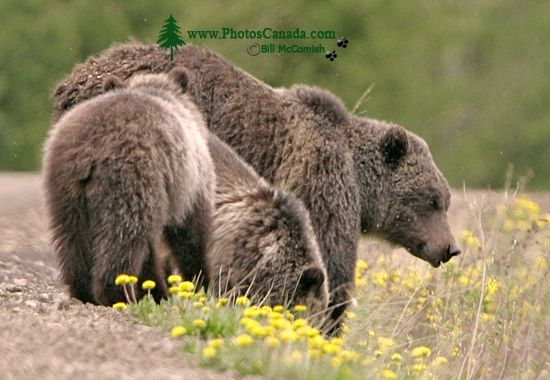 Grizzly Bear with Cubs CM11-002