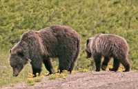 Grizzly Bear with Cubs CM11-007