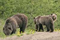 Grizzly Bear with Cubs CM11-008