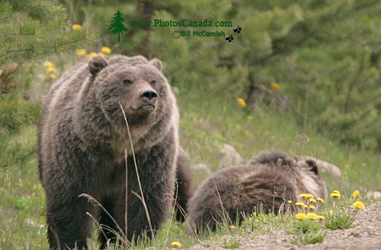 Grizzly Bear with Cubs CM11-009