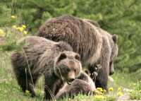 Grizzly Bear with Cubs CM11-010