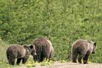 Grizzly Bear with Cubs CM11-011
