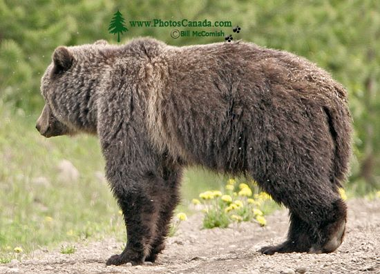 Grizzly Mother Bear CM11-004