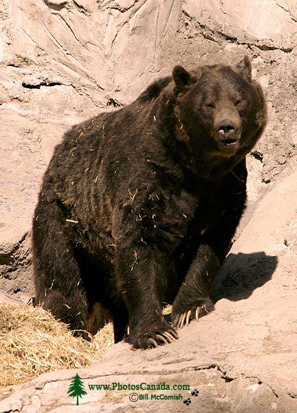 Grizzly Bear, Calgary Zoo, Alberta CM11-01
