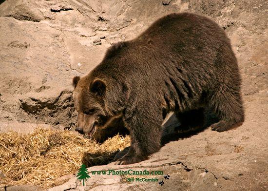 Grizzly Bear, Calgary Zoo, Alberta CM11-02