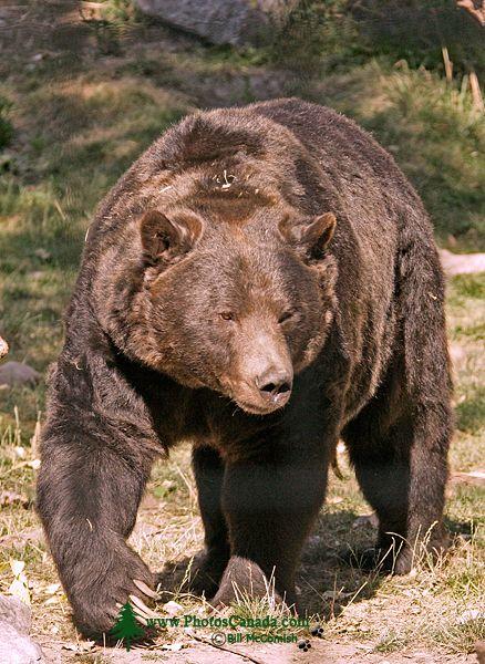 Grizzly Bear, Calgary Zoo, Alberta CM11-05