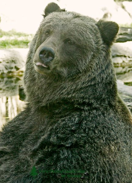 Grizzly Bear, Calgary Zoo, Alberta CM11-08