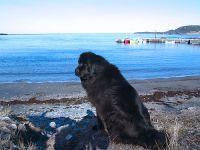 Rocky Harbour, Gros Morne National Park, Newfoundland, Canada 09 ( Newfoundlander Dog Bailey poses for me )