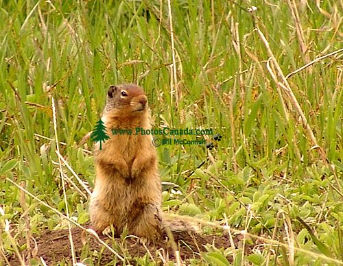 Colombian Ground Squirrel 11