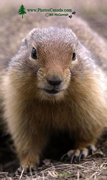Ground Squirrel, Mount Norquay, Banff Park, Alberta, Canada CM11-001