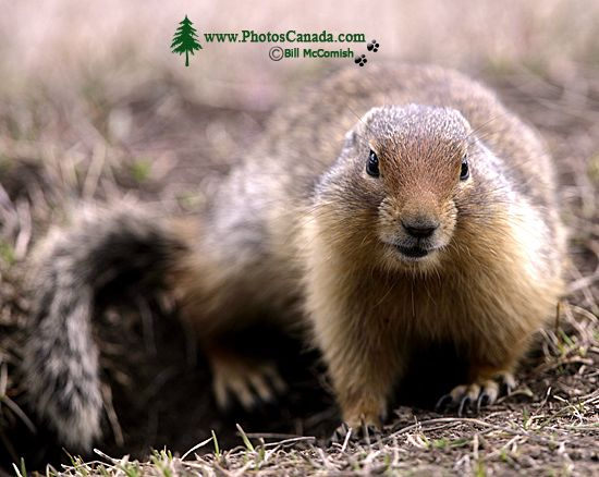 Ground Squirrel, Mount Norquay, Banff Park, Alberta, Canada CM11-002