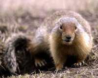 Ground Squirrel, Mount Norquay, Banff Park, Alberta, Canada CM11-002