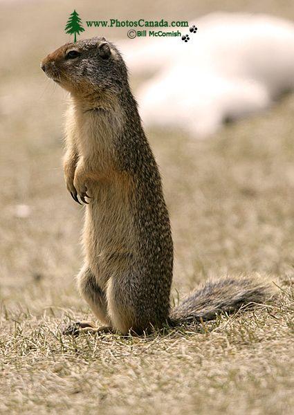 Ground Squirrel, Mount Norquay, Banff Park, Alberta, Canada CM11-003