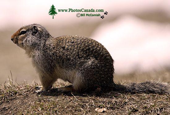 Ground Squirrel, Mount Norquay, Banff Park, Alberta, Canada CM11-004