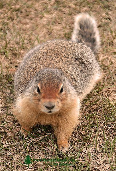 Ground Squirrel, Glacier National Park CM11-14