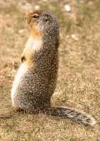 Ground Squirrel, Glacier National Park CM11-13