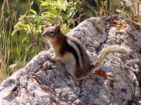 Golden Mantled Ground Squirrel 12