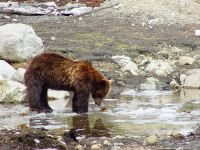 Grizzly Cub, Grouse Mtn Refuge for Endangered Wildlife, British Columbia, Canada 03