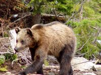 Grizzly Cub, Coola, Grouse Mtn Refuge for Endangered Wildlife, British Columbia, Canada 02