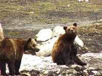 Grizzly Cubs, Grouse Mtn Refuge for Endangered Wildlife, British Columbia, Canada 04