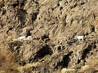 Mountain Goat Band, Lillooet, British Columbia, Canada 08