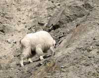 White Mountain Goat, British Columbia, Canada CM11-001