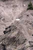 White Mountain Goat, British Columbia, Canada CM11-002