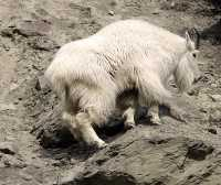 White Mountain Goat, British Columbia, Canada CM11-003