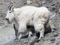 White Mountain Goat, British Columbia, Canada CM11-005