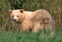Highlight for Album: Kermode Bear Photos, Spirit Bear, Ghost Bear, Northern British Columbia, Canadian Wildlife Stock Photos